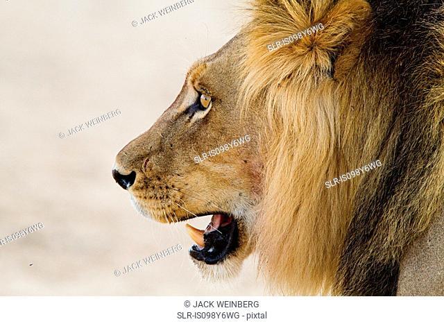 Male lion, head shot