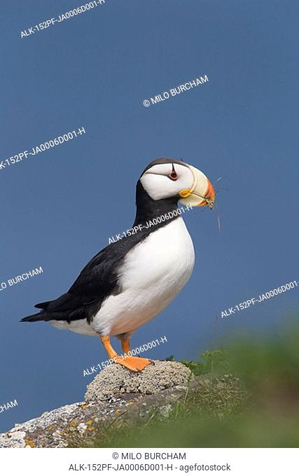 Horned Puffin perched on rock ledge with the blue Bering Sea in background, Saint Paul Island, Pribilof Islands, Bering Sea, Southwest Alaska