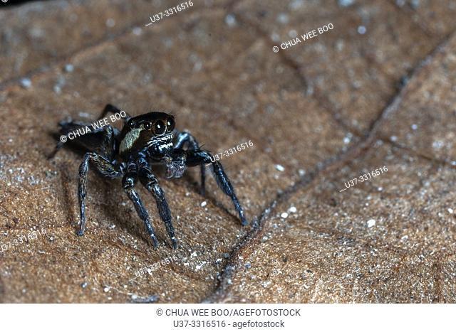 Jumping spider. Stutong Forest Reserve Park, Kuching, Sarawak, Malaysia