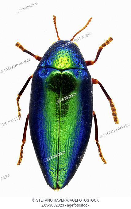 Green African Jewel Beetle in resin - Kenia