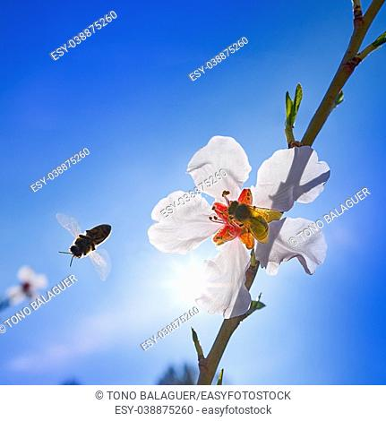 Almond flower tree with bee pollination in spring at Mediterranean