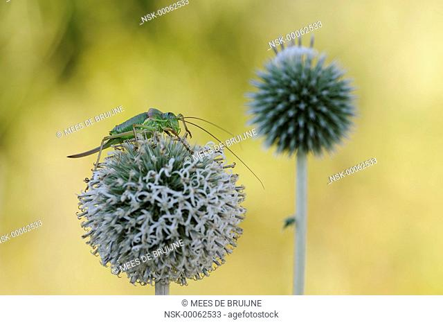 Saddle-backed Bush Cricket (Ephippiger ephippiger) sitting on a Great Globethistle), Spain, Catalonië, Parque Nacional de Aiguestortes i Estany de Sant Maurici