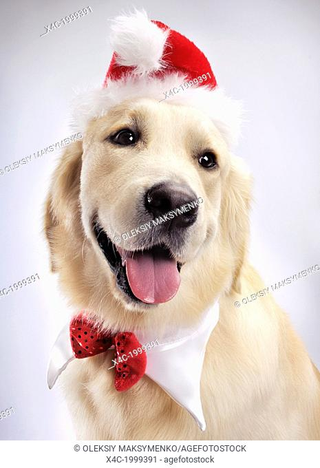 Portrait of cute one year old Golden Retriever wearing a Santa hat and Christmas bow. Isolated on white background