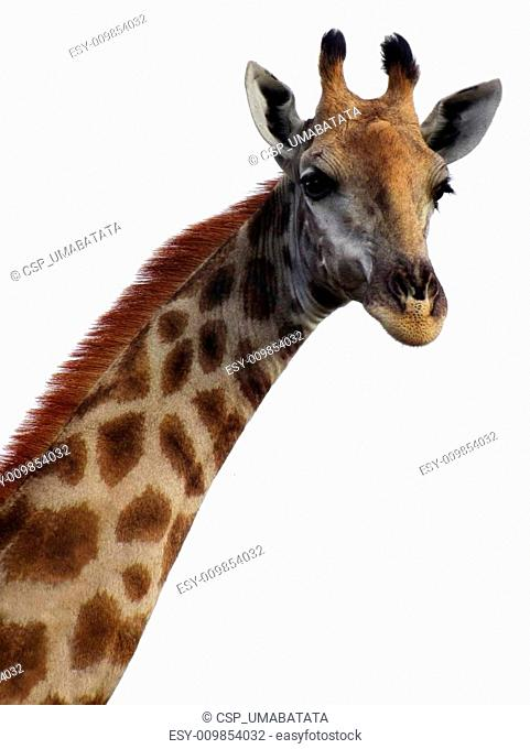 Giraffe head and neck