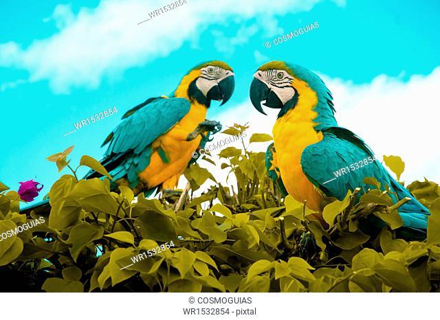 Guacamayas Amazon, Colombia