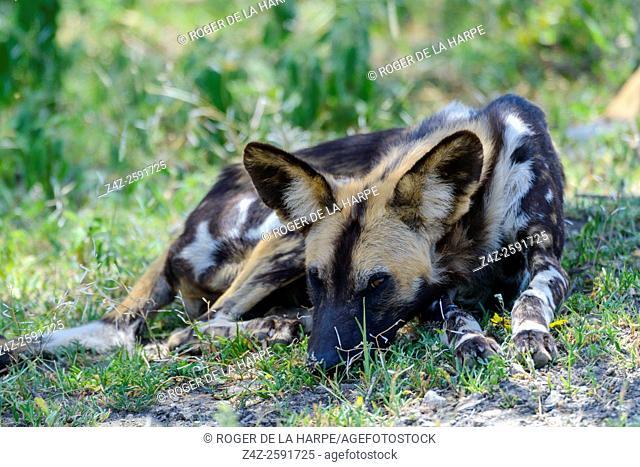 East African wild dog (Lycaon pictus lupinus). Ngorongoro Conservation Area (NCA). Tanzania