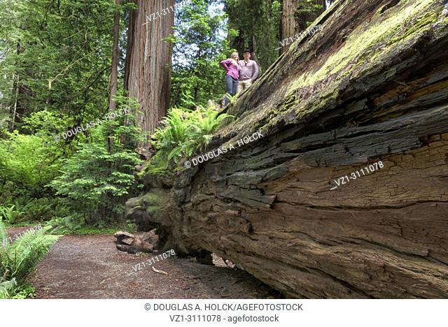 Walking path on top of a fallen giant Sequoia sempervirens, in Stout Memorial Grove,Jedediah Smith Redwoods State Park, Northern California, USA