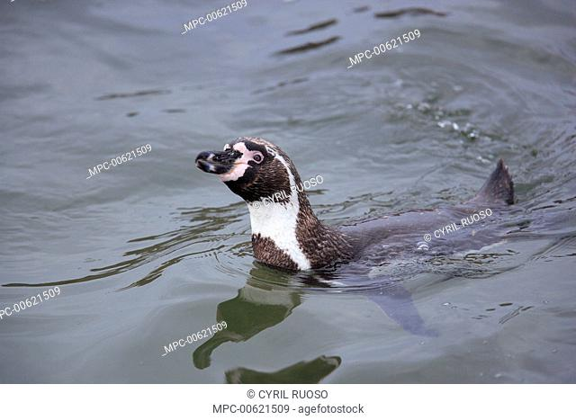 Humboldt Penguin (Spheniscus humboldti) swimming, Point Coles Nature Reserve, Peru
