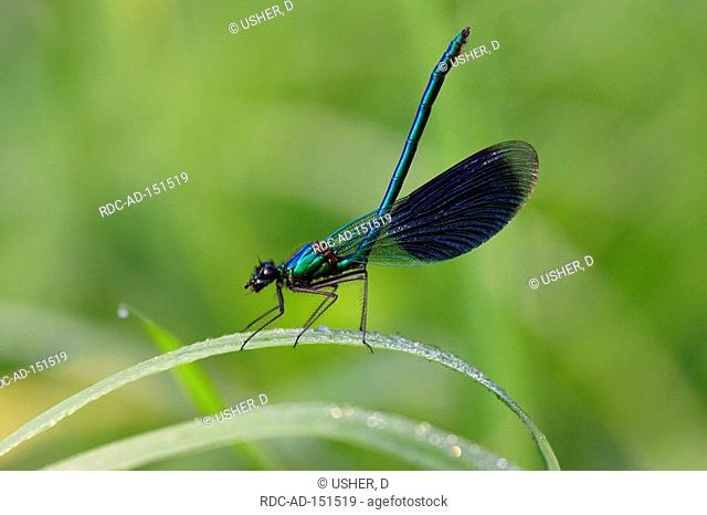 Banded Blackwing male Lower Saxony Germany Calopteryx splendens Agrion splendens Banded Agrion