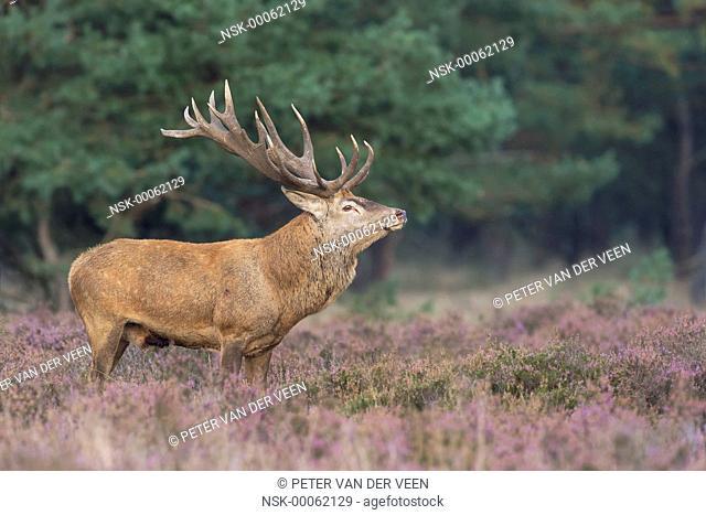 Red Deer (Cervus elaphus) standing in moorland, The Netherlands
