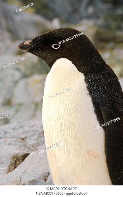 Adelie penguin Petermann Island Antarctica