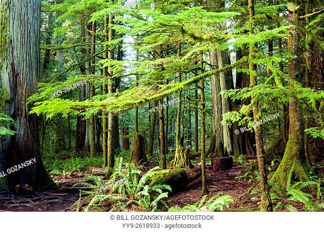 Cathedral Grove located in MacMillan Provincial Park, Vancouver Island, British Columbia, Canada