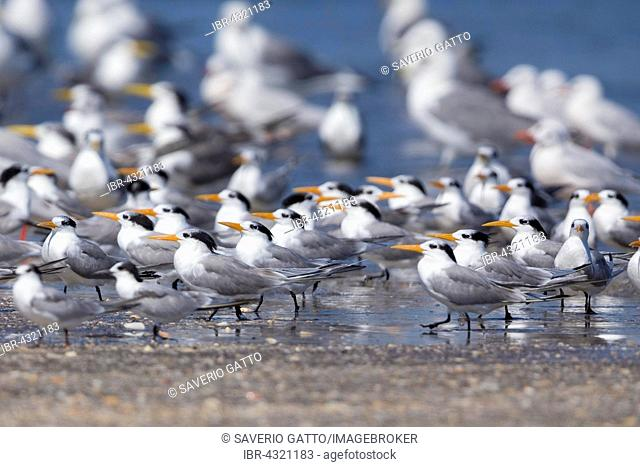 Lesser Crested Terns (Thalasseus bengalensis), flock resting on a beach together with other terns at the back, Liwa, Al-Batinah, Oman