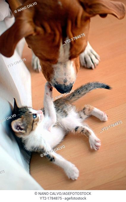 Two months old Kitten and two years old dog interact at home