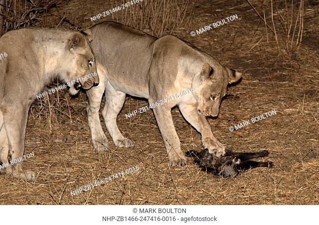 African lionesss playing with civet cat South Luangwa National Park Zambia