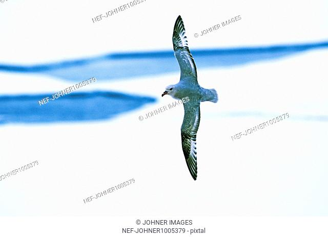 Flying fulmar, the Antarctic