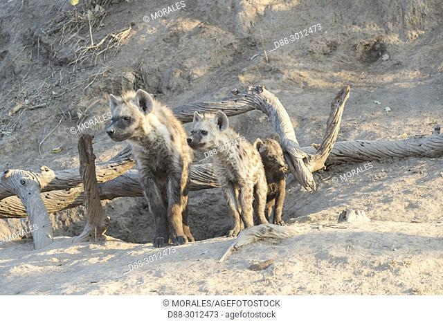 Africa, South African Republic, Mala Mala game reserve, Spotted hyena (Crocuta crocuta), Youngs from differebt generations, at the den, resting on the ground
