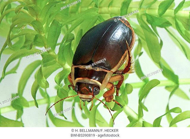 great diving beetle (Dytiscus marginalis), male with water plant, Germany