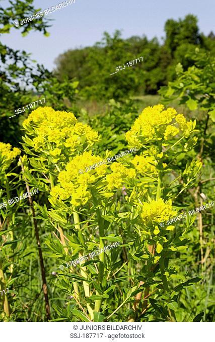 Marsh Spurge (Euphorbia palustris), flowering plant. Germany
