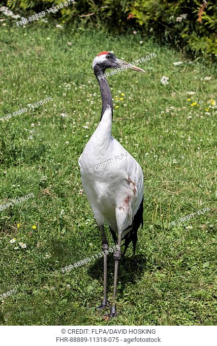 Manchurian Crane captive bird. Grus japonensis