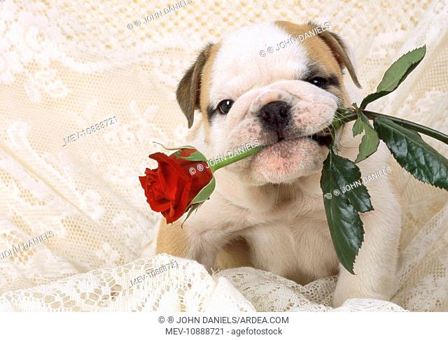Bulldog - puppy with rose