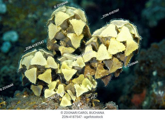 Marine Algae, Turbinaria ornata. This is a brown tropical algae found on coral reef ecosystems. Sereya,Tulamben, Bali, Indonesia