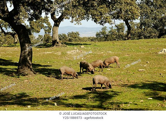 Pigs in holm oaks dehesa, Monesterio, Badajoz-province, Spain