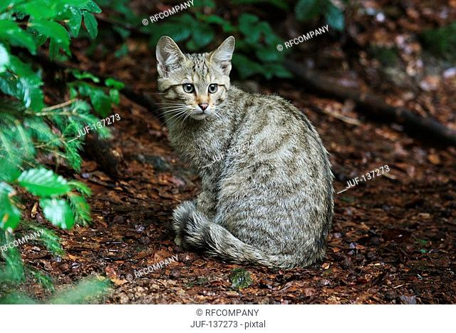 young wildcat sitting next to bush / Felis silvestris