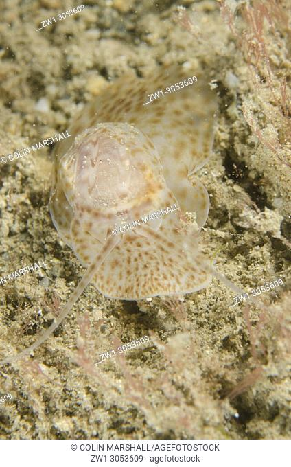 Moon Snail (Nautica sp. ) on sand, Night dive, Dili Rock East dive site, Dili, East Timor (Timor Leste)