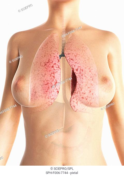 Female lungs, computer artwork