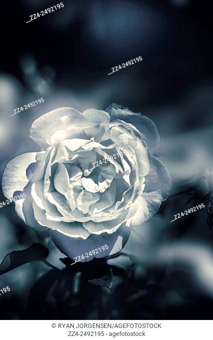 White winter rose wilting in a blue melancholy field amidst a haze of chilling fog and mist. With sympathy and condolences