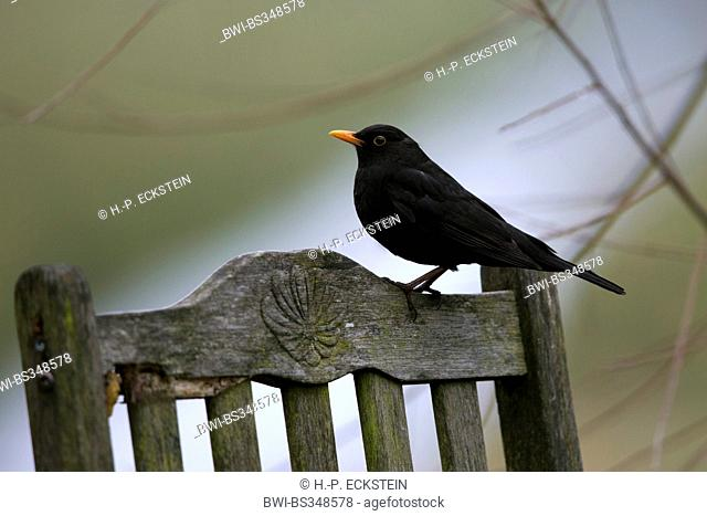 blackbird (Turdus merula), male blackbird on a backrest, Germany