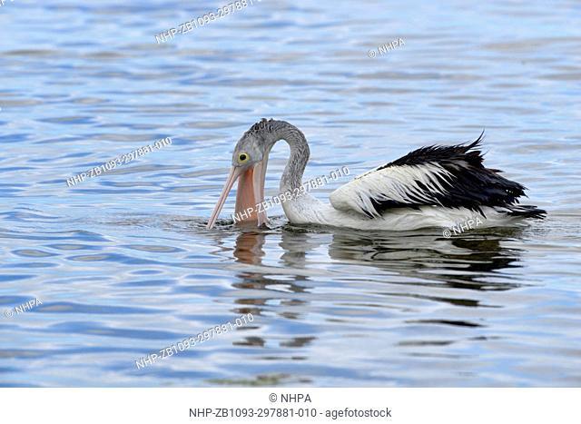 Australian Pelican Pelecanus conspicillatus Distending bill for catching small fish Photographed on Kangaroo Island, South Australia