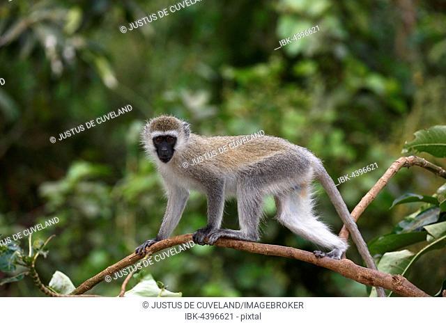 Vervet Monkey, Southern Vervet Monkey (Chlorocebus pygerythrus), Lake Manyara National Park, Tanzania, Africa