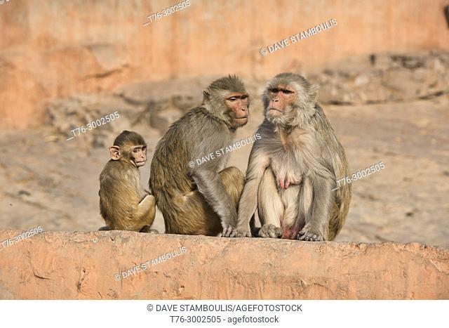 Grooming time at the Galtaji Monkey Temple, Jaipur, India