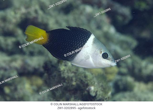 Female Blackeye Thicklip Wrasse (Hemigymnus melapterus), Dili Rock West dive site, Dili, East Timor (Timor Leste)
