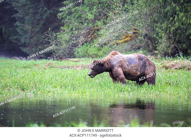 A giant battle-scarred, old, male grizzly bear in the Kwinamass Conservancy in British Columbia, Canada