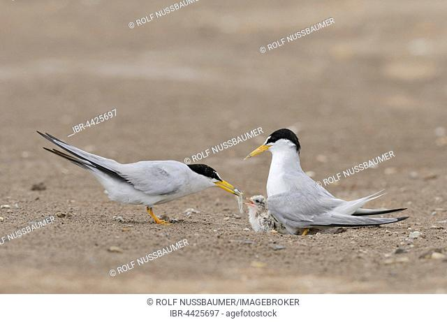 Least Terns (Sterna antillarum), adult feeding first fish to newly hatched young, Port Isabel, Laguna Madre, South Padre Island, Texas, USA