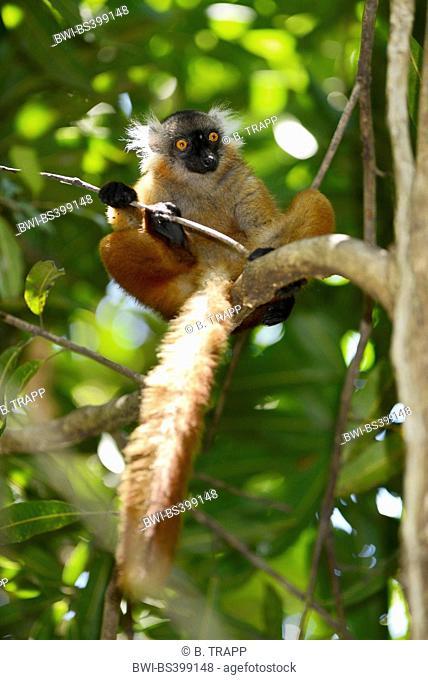 black lemur (Lemur macaco, Petterus macaco), female sits on a tree, Madagascar, Nosy Be, Lokobe Reserva