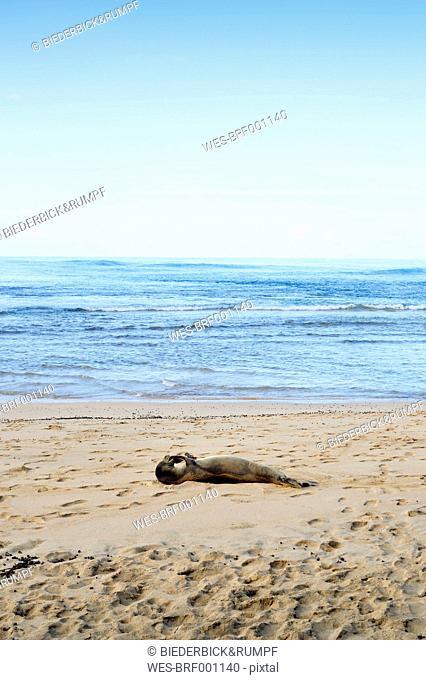 USA, Hawaii, Hanalei, hawaiian monk seal lying on Kee Beach