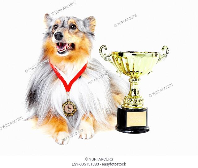 Champion shetland sheepdog wearing a gold medal and sitting alongside a trophy against a white background