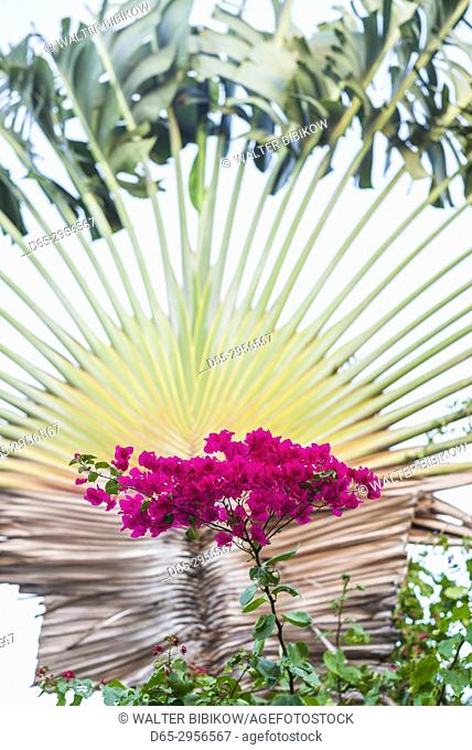 British Virgin Islands, Virgin Gorda, The Bitter End, fan palm
