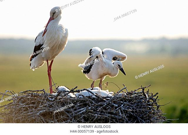 White stork with youngs on the nest (Ciconia ciconia), France