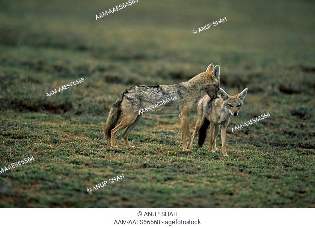 Golden Jackal (Canis aureus) male sniffing female, Ngorongoro conservation area, Tanzania