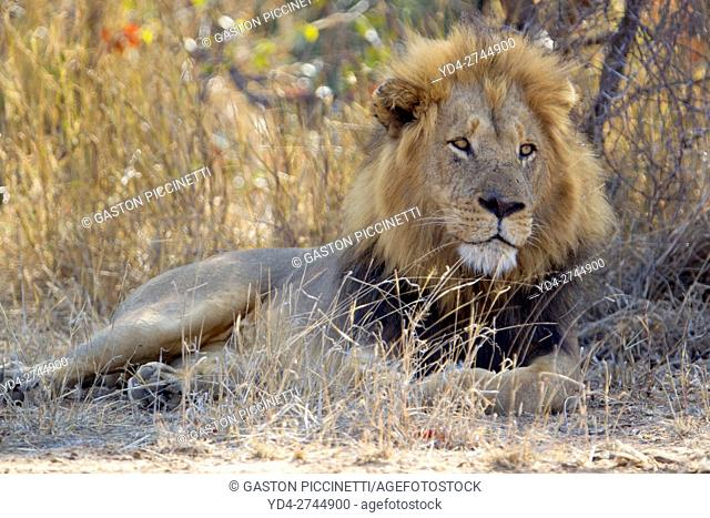 African Lion (Panthera leo) - Male, Kruger National Park, South Africa
