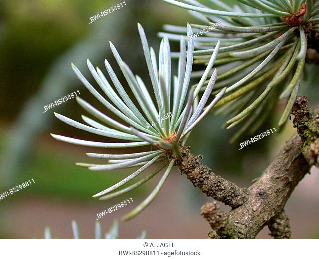 Blue cedar (Cedrus atlantica 'Glauca', Cedrus atlantica Glauca), short shoot with needles