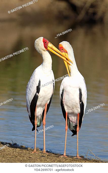 Yellowbilled Storks (Mycteria ibis), loving pare male on the left preening the female at the lakeshore, Sunset Dam, Kruger National Park, South Africa