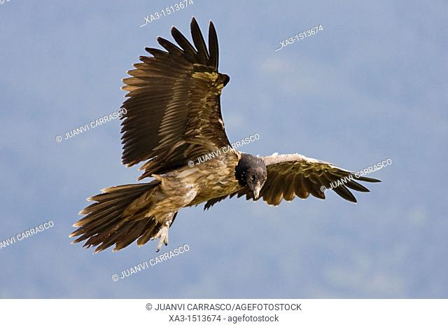 Lammergeier Gypaetus barbatus in flight at Ordesa and monte perdido national park, Huesca Province, Aragon, Pyrenees, Spain