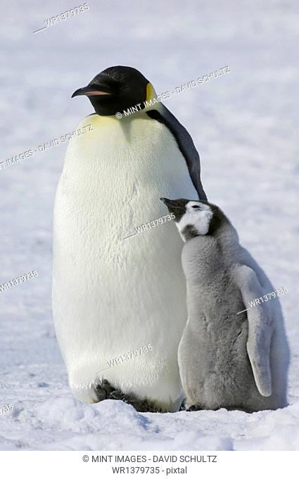 Two Emperor penguins, an adult bird and a chick, side by side, on the ice