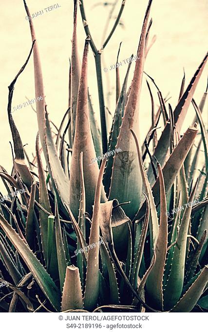 aloe vera Aloe vera, Aloe barbadensis, leaves